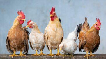Best Chicken Coop Heaters