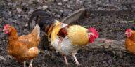 Best Chicken Waterers