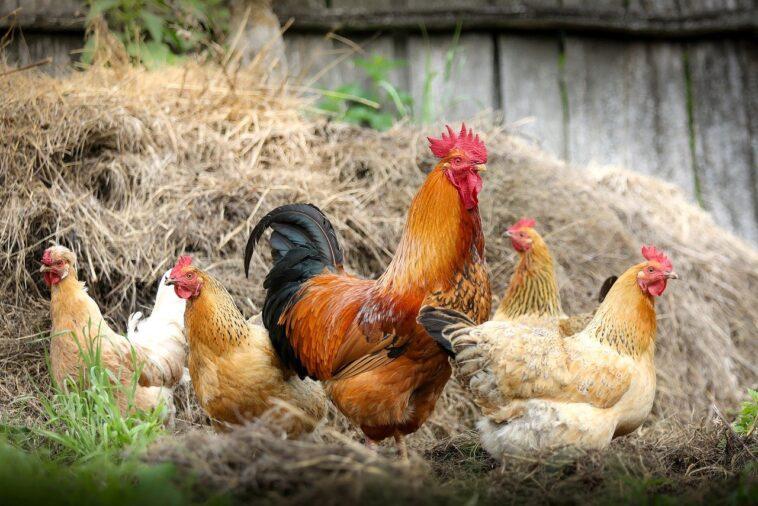 Best Automatic Chicken Door