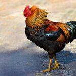 Best Chicken Nesting Boxes
