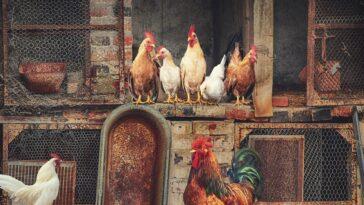 Best Chicken Coops